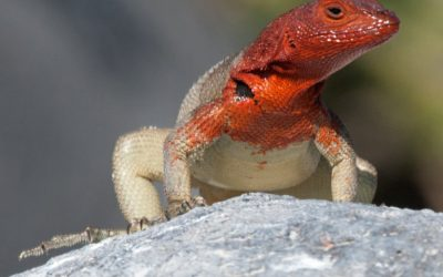 The Hood Lava Lizard