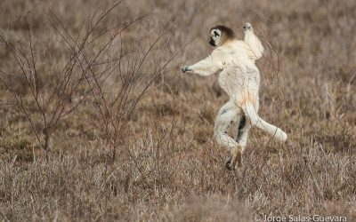 The Dancing Lemurs (Verreaux's Sifakas) of Madagascar