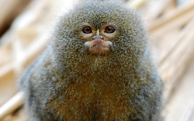 Pygmy Marmoset, the smallest monkey in the world!