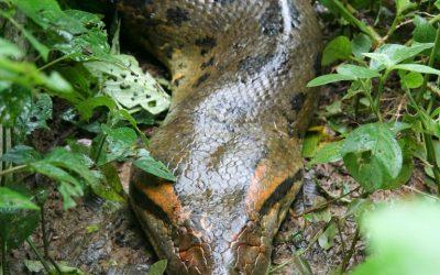 The Green Anaconda of South America!