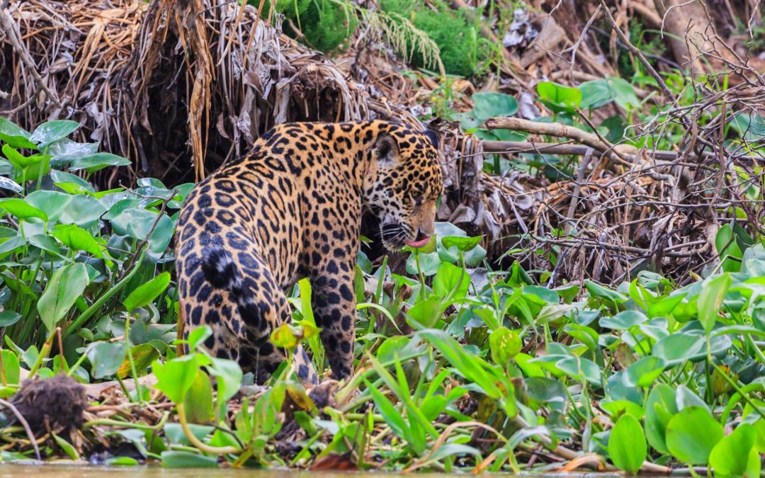 The Enigmatic Jaguar