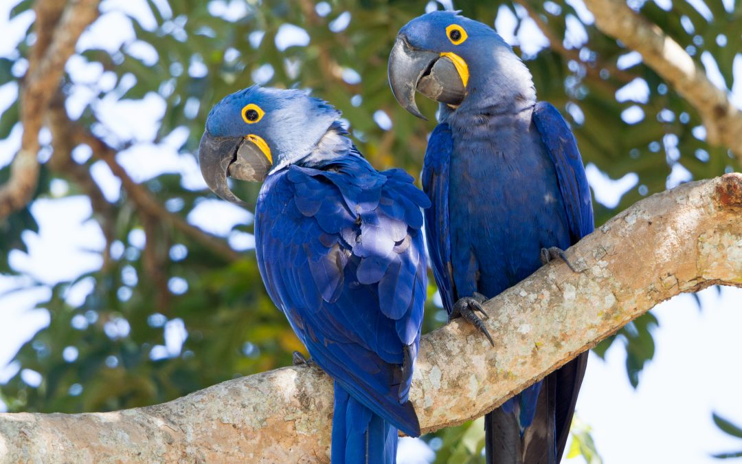 The Hyacinth macaw «King of parrots»