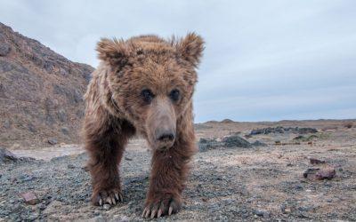 The Gobi Bear